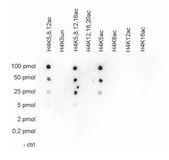 Dot Blot - Anti-Histone H4 (acetyl K5) antibody (ab231913)