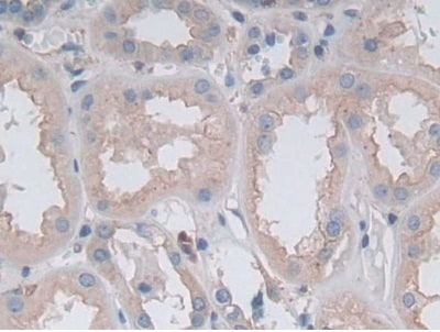 Immunohistochemistry (Formalin/PFA-fixed paraffin-embedded sections) - Anti-Gastrokine 1 antibody (ab231952)