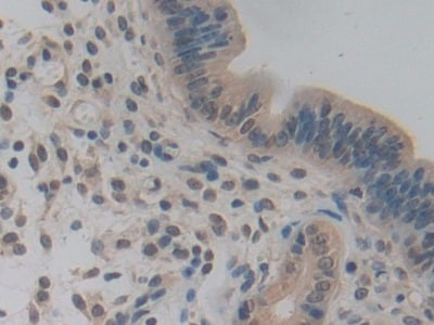 Immunohistochemistry (Formalin/PFA-fixed paraffin-embedded sections) - Anti-Pericentrin 1/FROUNT antibody (ab231958)