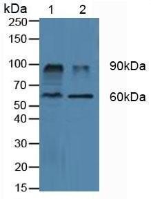 Western blot - Anti-CD26 antibody (ab231973)