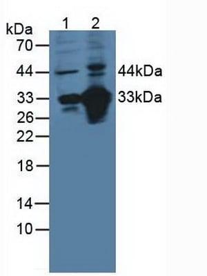 Western blot - Anti-CD46 antibody (ab231984)