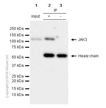 Immunoprecipitation - Anti-JAK3 antibody [EP909Y] - BSA and Azide free (ab232005)