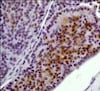 Immunohistochemistry (Formalin/PFA-fixed paraffin-embedded sections) - Anti-Erk1 (pT202/pY204) + Erk2 (pT185/pY187) antibody [E337] - BSA and Azide free (ab232017)