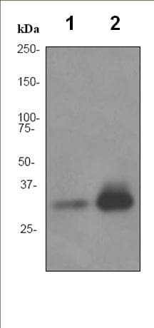 Western blot - Anti-APOF antibody [EPR2908] - BSA and Azide free (ab232035)