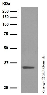 Western blot - Anti-Wnt2/IRP antibody [EPR3101(2)] - BSA and Azide free (ab232036)
