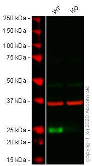 Western blot - Anti-FADD antibody [EPR4415] - BSA and Azide free (ab232045)