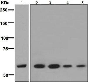 Western blot - Anti-ANGPTL3 antibody [EPR7319] - BSA and Azide free (ab232051)