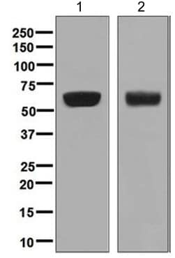 Western blot - Anti-AACT antibody [EPR5905] - BSA and Azide free (ab232054)