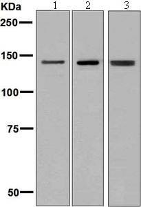 Western blot - Anti-Ceruloplasmin antibody [EPSISR6-12] - BSA and Azide free (ab232055)
