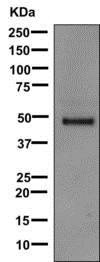 Western blot - Anti-LRG1/LRG antibody [EPR12363] - BSA and Azide free (ab232056)