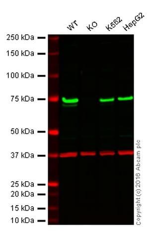 Western blot - Anti-TLS/FUS antibody [EPR5812] - BSA and Azide free (ab232065)