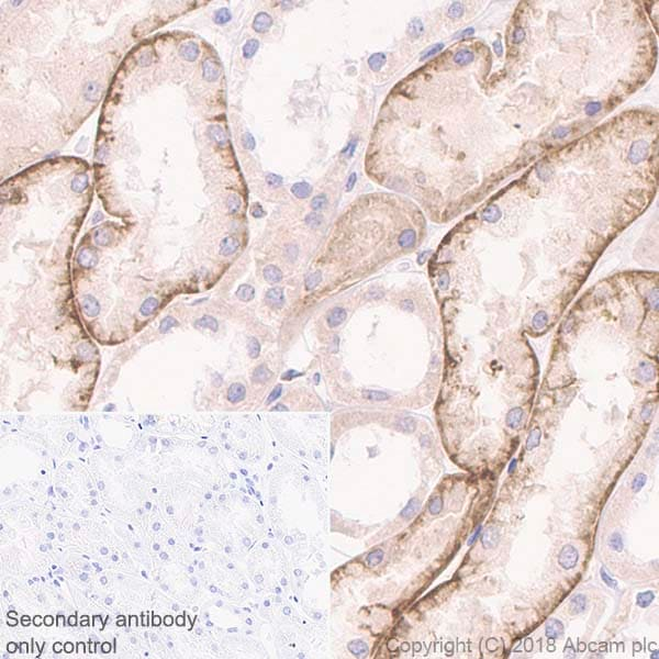 Immunohistochemistry (Formalin/PFA-fixed paraffin-embedded sections) - Anti-M-CSF antibody [EP1179Y] - BSA and Azide free (ab232165)