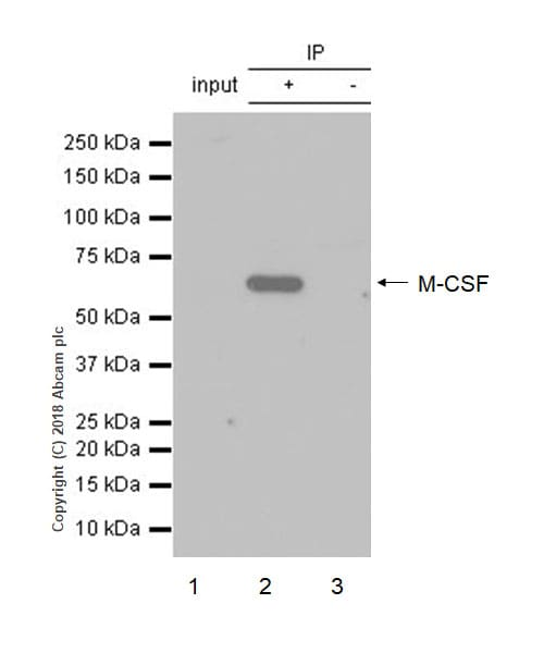 Immunoprecipitation - Anti-M-CSF antibody [EP1179Y] - BSA and Azide free (ab232165)