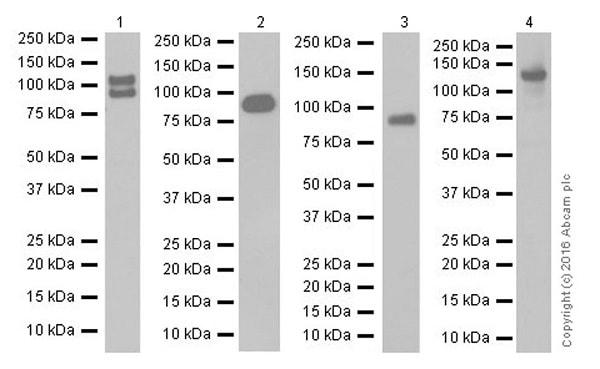 Western blot - Anti-E Cadherin antibody [EPR16845-108] - BSA and Azide free (ab232217)