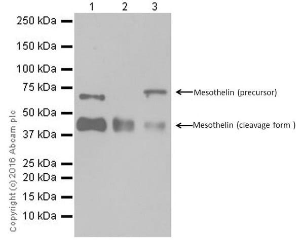 Western blot - Anti-Mesothelin antibody [EPR17823-52] - BSA and Azide free (ab232218)