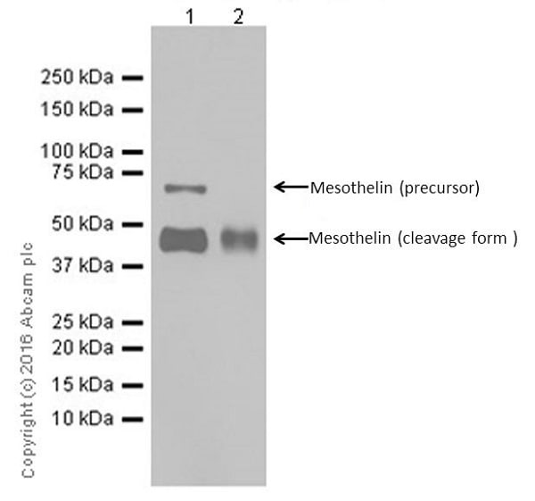 Western blot - Anti-Mesothelin antibody [EPR17823-69] - BSA and Azide free (ab232219)