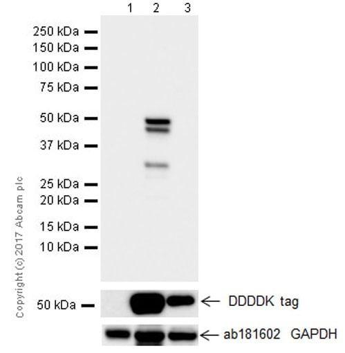 Western blot - Anti-GSDMA antibody [EPR19858-116] (ab232254)
