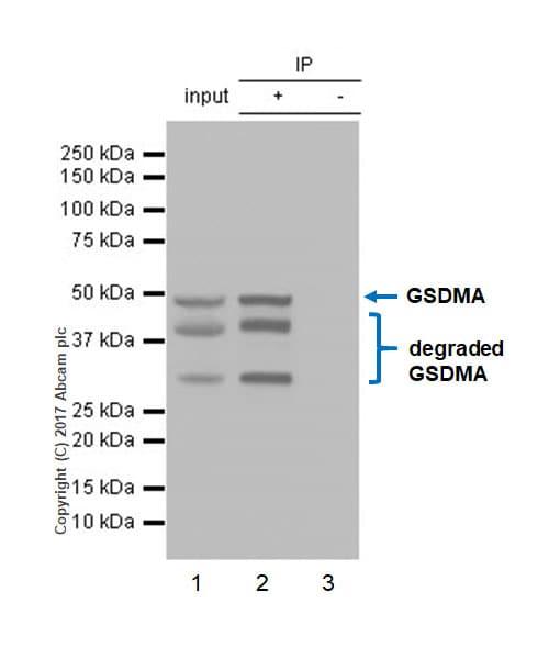 Immunoprecipitation - Anti-GSDMA antibody [EPR19858-116] (ab232254)