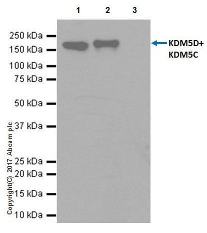 Immunoprecipitation - Anti-KDM5C / Jarid1C / SMCX + KDM5D / Jarid1D / SMCY antibody [EPR18653] - BSA and Azide free (ab232318)