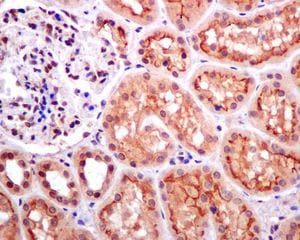 Immunohistochemistry (Formalin/PFA-fixed paraffin-embedded sections) - Anti-DPF2/REQ antibody [EPR9206(B)] - BSA and Azide free (ab232327)