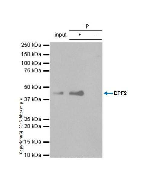 Immunoprecipitation - Anti-DPF2/REQ antibody [EPR9206(B)] - BSA and Azide free (ab232327)