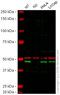 Western blot - Anti-DPF2/REQ antibody [EPR9206(B)] - BSA and Azide free (ab232327)