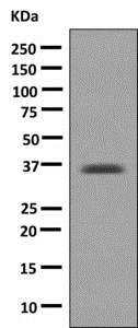 Western blot - Anti-D Amino Acid Oxidase antibody [EPR7555] - BSA and Azide free (ab232334)