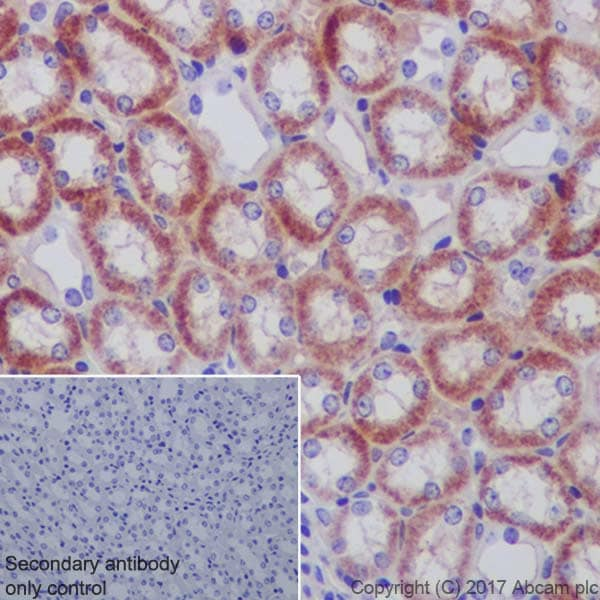 Immunohistochemistry (Formalin/PFA-fixed paraffin-embedded sections) - Anti-Ndufs4 antibody [EP7832] - BSA and Azide free (ab232337)