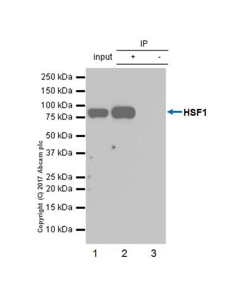 Immunoprecipitation - Anti-HSF1 antibody [EP1710Y] - BSA and Azide free (ab232342)