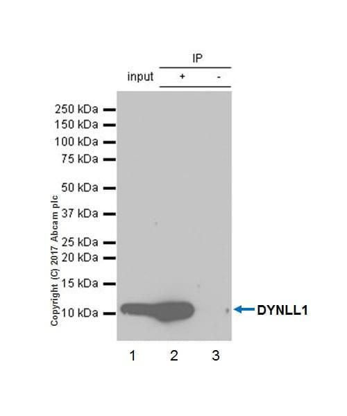Immunoprecipitation - Anti-DYNLL1 antibody [EP1660Y] - BSA and Azide free (ab232343)