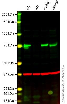 Western blot - Anti-ATG7 antibody [EPR6251] - BSA and Azide free (ab232348)