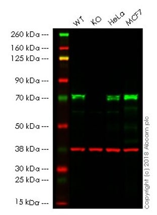 Western blot - Anti-TRIM25/EFP antibody [EPR7315] - BSA and Azide free (ab232356)