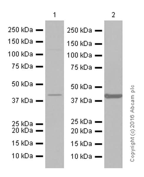 Western blot - Anti-MURF1 + MURF3 + MURF2 antibody [EPR6431(2)] - BSA and Azide free (ab232364)