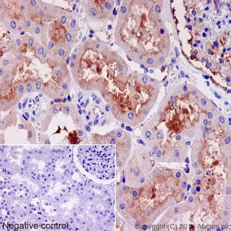 Immunohistochemistry (Formalin/PFA-fixed paraffin-embedded sections) - Anti-Klotho antibody [EPR6856] - BSA and Azide free (ab232366)