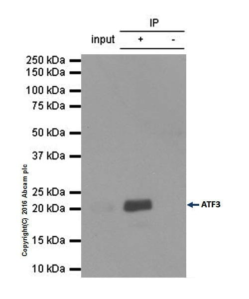 Immunoprecipitation - Anti-ATF3 antibody [EPR19488] - BSA and Azide free (ab232375)
