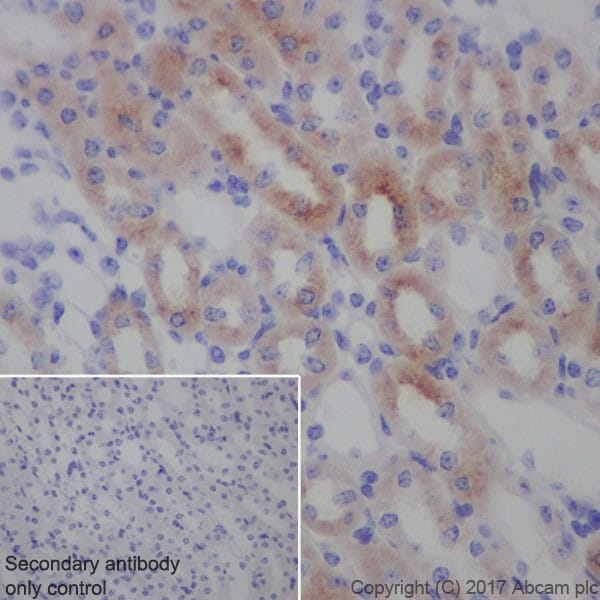 Immunohistochemistry (Formalin/PFA-fixed paraffin-embedded sections) - Anti-Transferrin Receptor antibody [EPR20584] - BSA and Azide free (ab232376)
