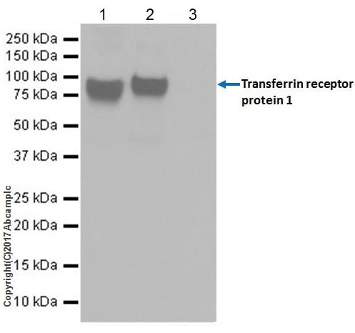 Immunoprecipitation - Anti-Transferrin Receptor antibody [EPR20584] - BSA and Azide free (ab232376)