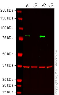 Western blot - Anti-FOXO3A antibody [EPR1950] - BSA and Azide free (ab232393)