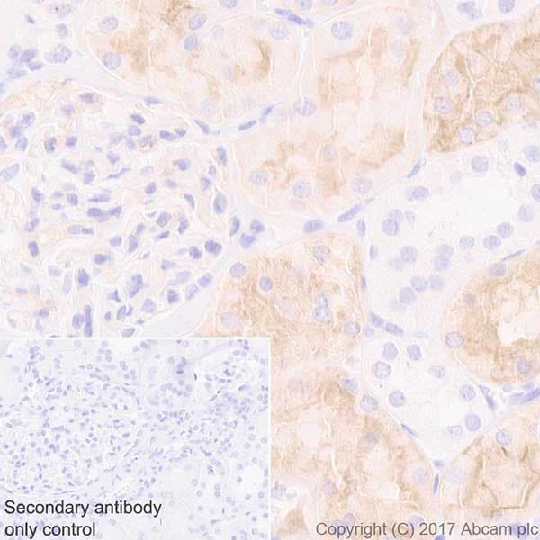 Immunohistochemistry (Formalin/PFA-fixed paraffin-embedded sections) - Anti-Aquaporin 1 antibody [EPR20325] - BSA and Azide free (ab232399)