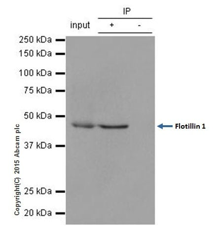 Immunoprecipitation - Anti-Flotillin 1 antibody [EPR6041] - BSA and Azide free (ab232405)