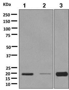 Western blot - Anti-RAMP1 antibody [EPR10867] - BSA and Azide free (ab232407)