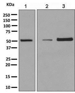 Western blot - Anti-MiTF antibody [EPR9731] - BSA and Azide free (ab232415)