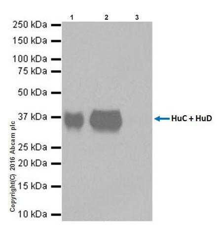 Immunoprecipitation - Anti-HuD + HuC antibody [EPR19098] - BSA and Azide free (ab232416)