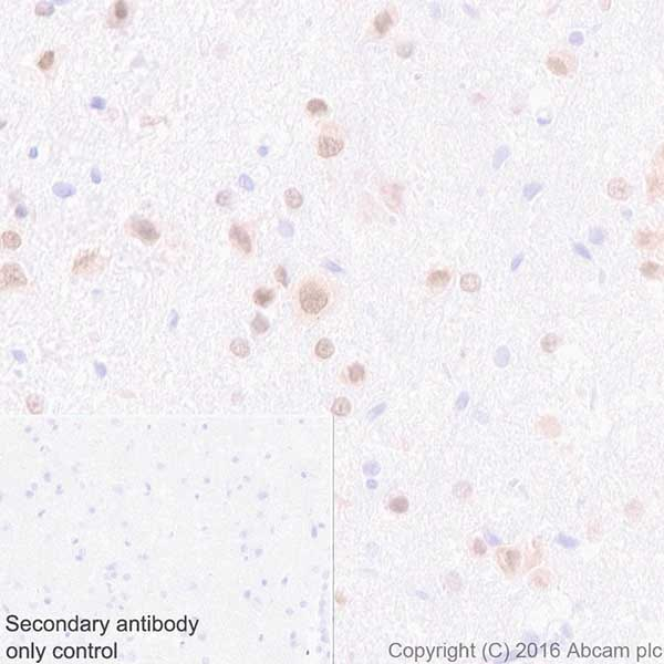 Immunohistochemistry (Formalin/PFA-fixed paraffin-embedded sections) - Anti-HuD + HuC antibody [EPR19098] - BSA and Azide free (ab232416)