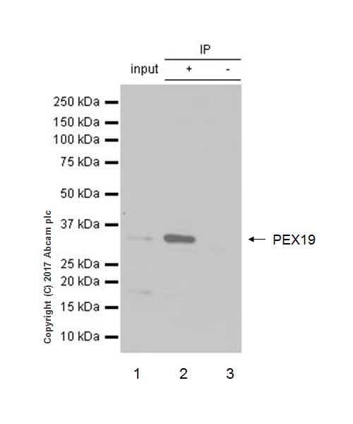 Immunoprecipitation - Anti-PEX19 antibody [EPR9266(B)] - BSA and Azide free (ab232421)