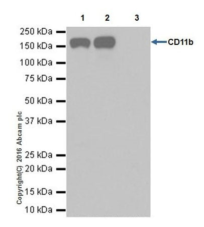 Immunoprecipitation - Anti-CD11b antibody [EPR19387] - BSA and Azide free (ab232427)