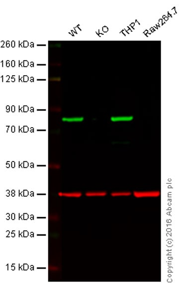 Western blot - Anti-Calnexin antibody [EPR3632] - BSA and Azide free (ab232433)