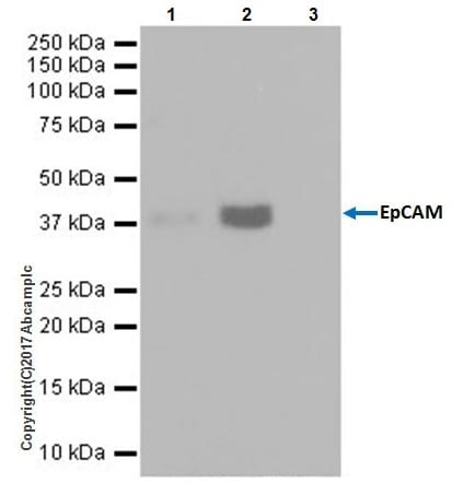 Immunoprecipitation - Anti-EpCAM antibody [EPR20533-266] - BSA and Azide free (ab232437)
