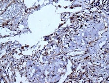 Immunohistochemistry (Formalin/PFA-fixed paraffin-embedded sections) - Anti-VEGFD antibody [EPR8457] - BSA and Azide free (ab232447)