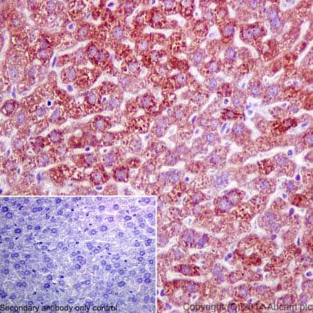 Immunohistochemistry (Formalin/PFA-fixed paraffin-embedded sections) - Anti-FMO3 antibody [EPR6968] - BSA and Azide free (ab232452)